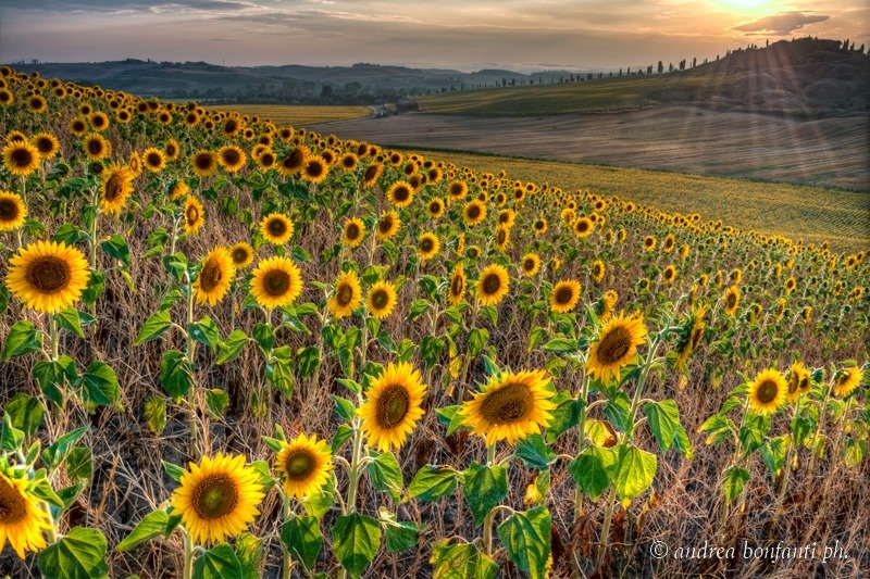 Tuscany Guided Tours with Isabelle -  Sunflowers in Tuscany © Andrea Bonfanti Photographer